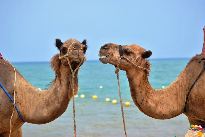 two camels facing each other conversation starters